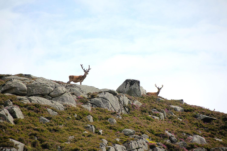 deerred1